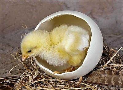 chick-emerging-from-egg